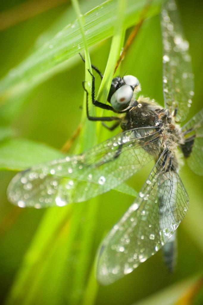 libellule déprimée, macro de nature, atelierphoto - céline Loie